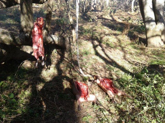 <b> Faenados</b>. Los carpinchos los carnearon y los tenían listo para llevarlos.